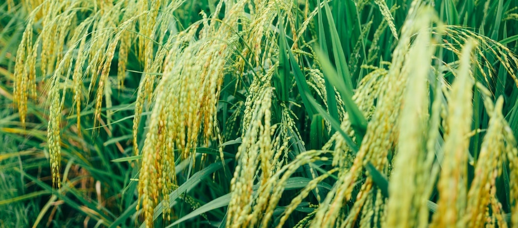 Experts select new rice varieties for African farmers